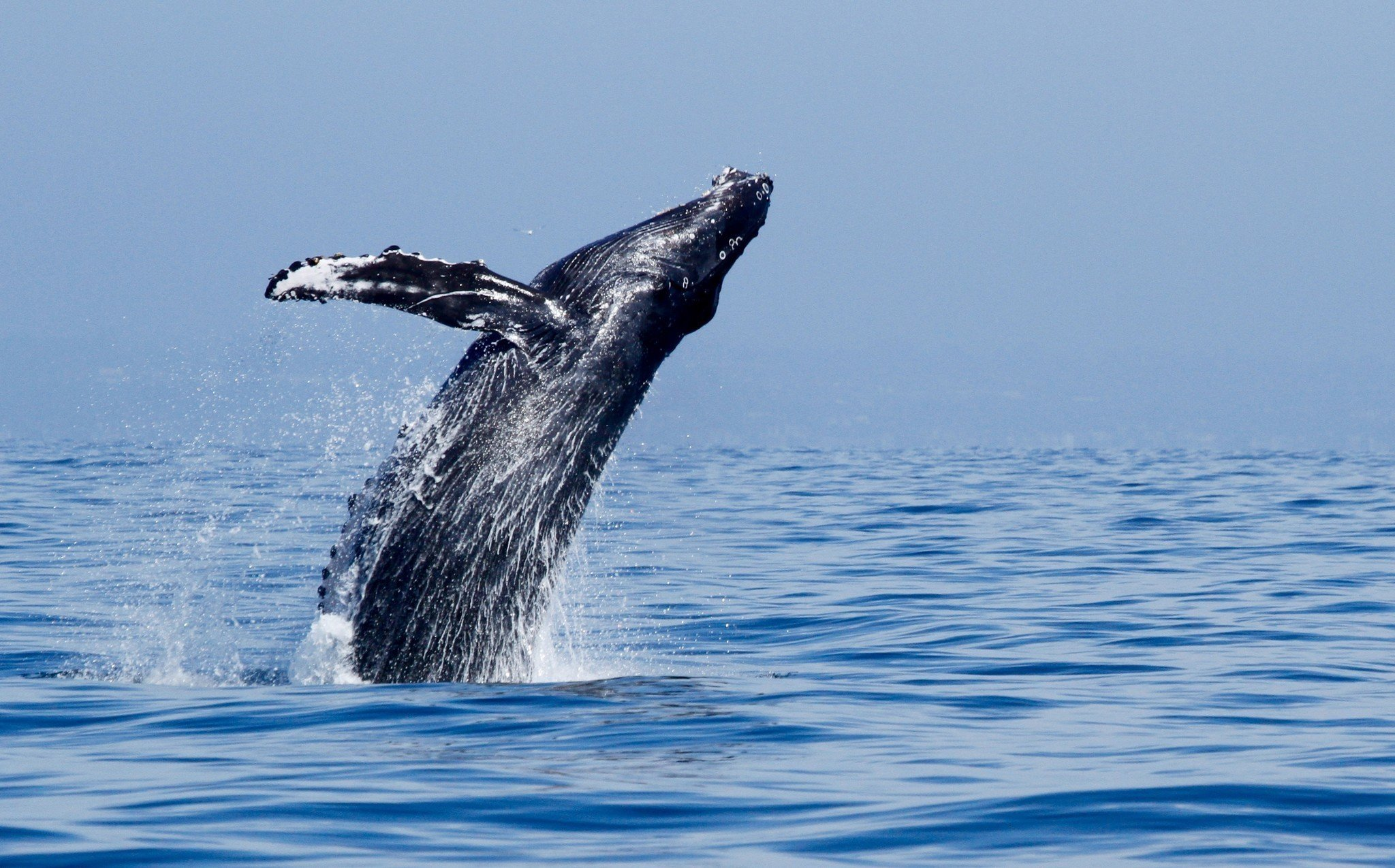 Long Beach Visitors Guide Harbor Cruises Whale Watching: The World In Four Days Long Beach Guide